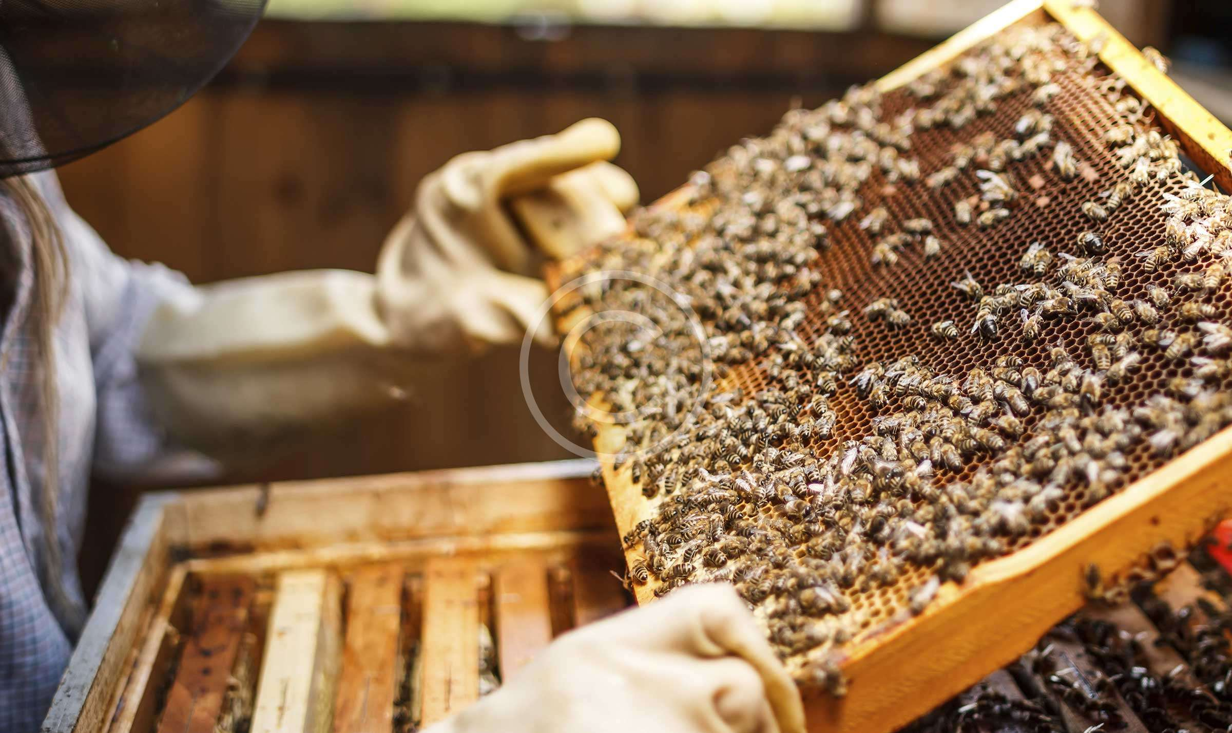 Tutorial: Beekeeping for Beginners. Breeding Bees