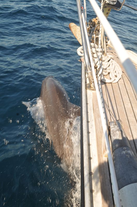 delfiini kisailee