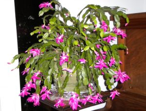 Halloween-Thanksgiving Christmas-New Year-Valentine's Cactus