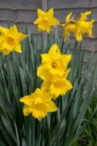 spring-flowers-yellow-daffodils pub domain