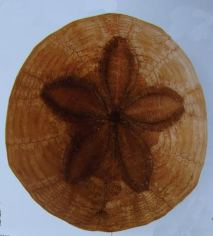 The echonoid is a fossil commonly found in Union County and the region. It's a 65 million year old sea biscuit.