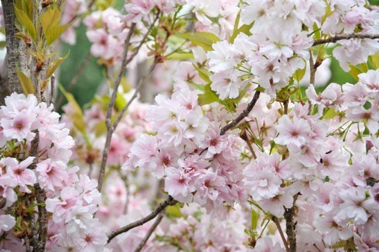 Prunus serrula Amanogawa
