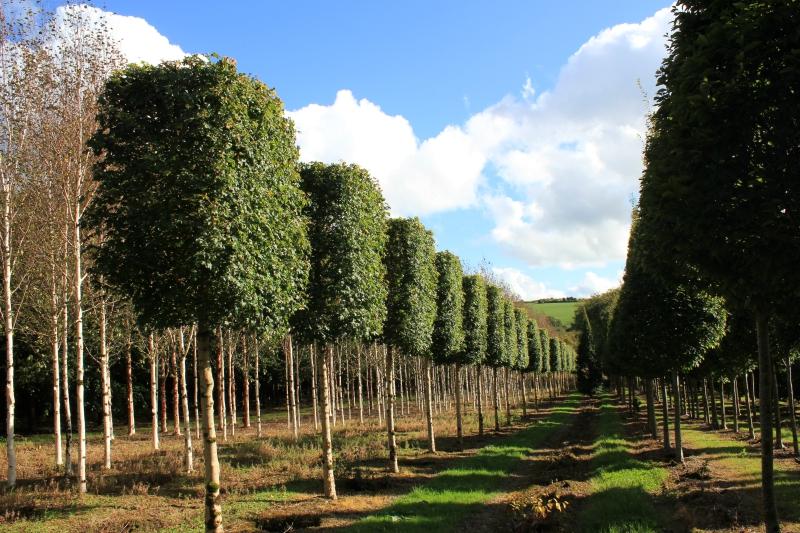Box Head Trees