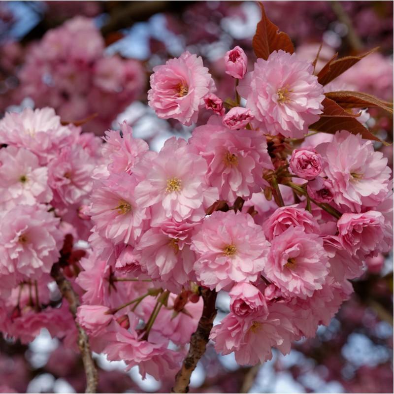 Cherry Trees Prunus Flowering Trees Ornamental Trees Pink