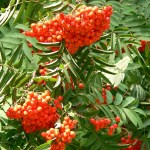 Sorbus aucuparia Sheerwater Seedling