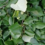 Tilia tomentosa Petiolaris