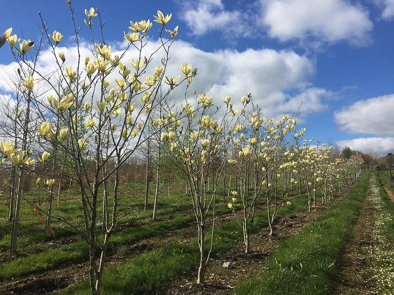 Magnolia Trees Magnolias Flowering Trees Ornamental Trees