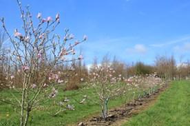 Magnolia loebneri Leonard Messel m/s 150+mm