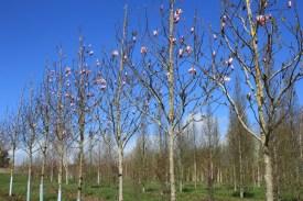 Magnolia spectrum 20-25cm