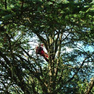 Abattage par démontage sur corde en Pyrénées Atlantique 64 et Landes 40 195 - ECHEGARAY Ñaño élagage