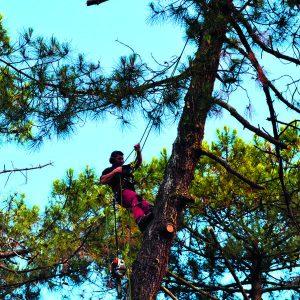 Abattage par démontage sur corde en Pyrénées Atlantique 64 et Landes 40 794 - ECHEGARAY Ñaño élagage