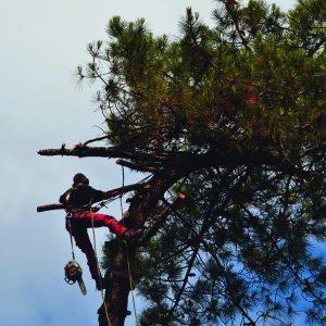 Abattage par démontage sur corde en Pyrénées Atlantique 64 et Landes 40 820 - ECHEGARAY Ñaño élagage