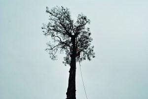 Abattage par démontage sur corde en Pyrénées Atlantique 64 et Landes 40 15 - ECHEGARAY Ñaño élagage