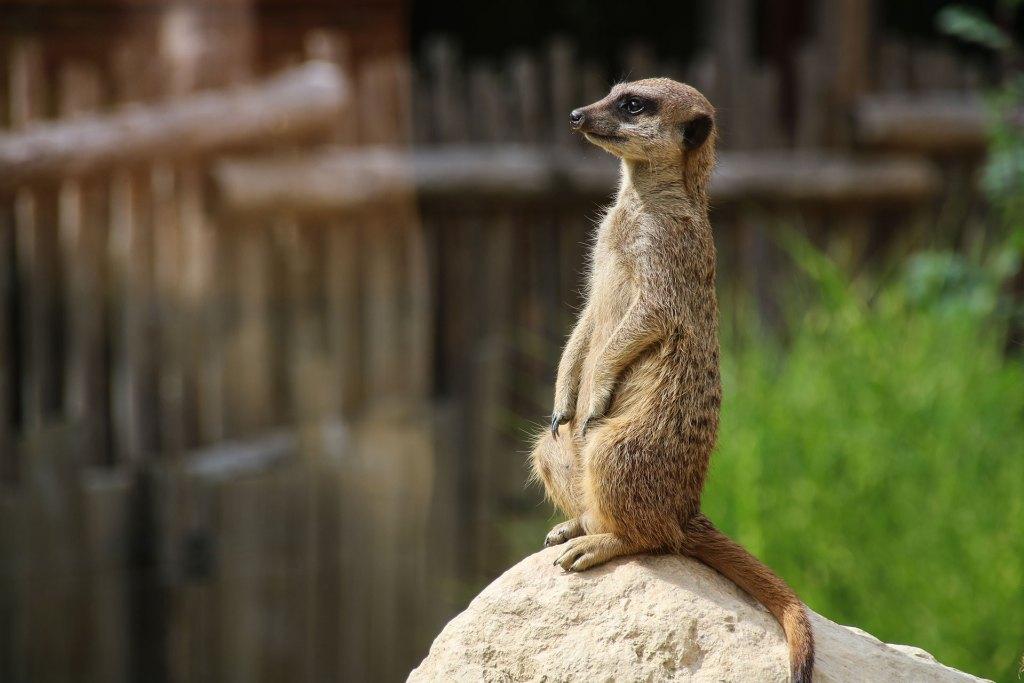 He's got the look - Lemurs