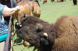 A hungry buffalo
