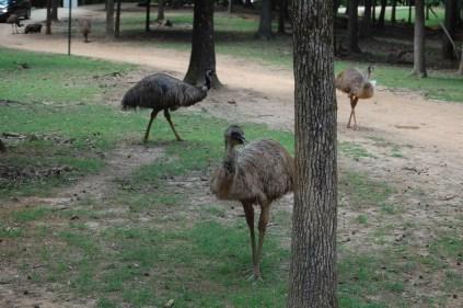 Emu, rhea, rhea (l to r) I believe