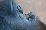 Gorillas are fascinating