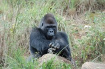 Outside Gorilla