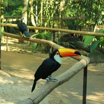 foz_do_iguacu_parque_das_aves_tucano