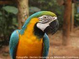 Ara_ararauna_-Parque_das_Aves_Foz_do_Iguacu_Brazil_-upper_body-8a