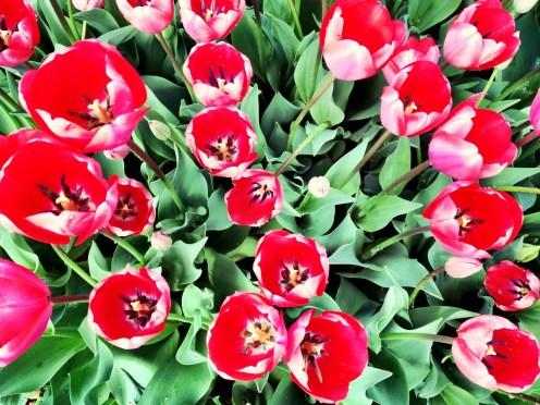 Tulips at Yoyogi Park