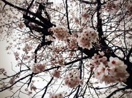 Cherry tree in Yoyogi Park