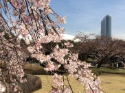 Tokyo Dome and cherry blossoms