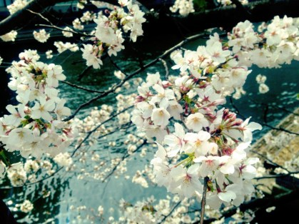 Kayabacho cherry blossom