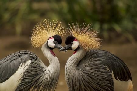 grey-crowned-crane-540657_640