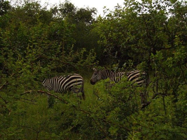 Lake Mburo Zebra