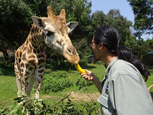 Giraffe Feeding 1