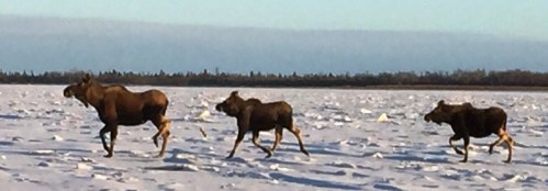 Many moose were seen along the River - the Middle Kuskokwim moose population seems to be rebuilding
