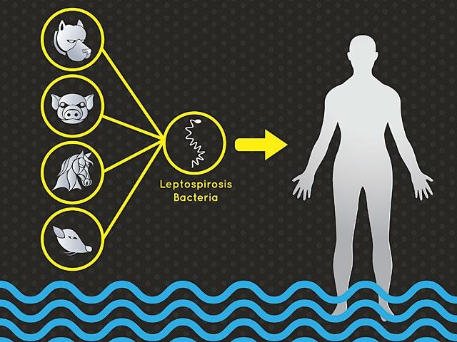 Как защититься от лептоспироза?