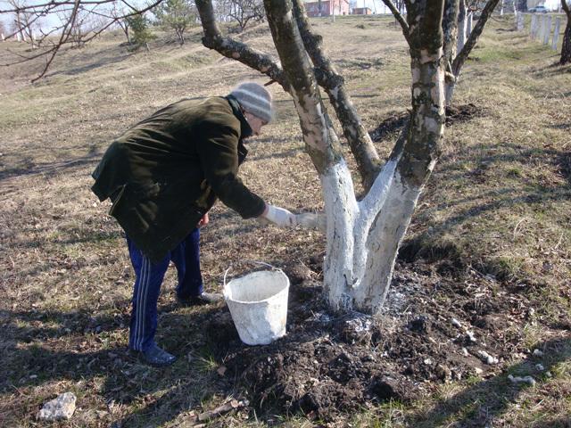 Нужно ли белить деревья осенью?