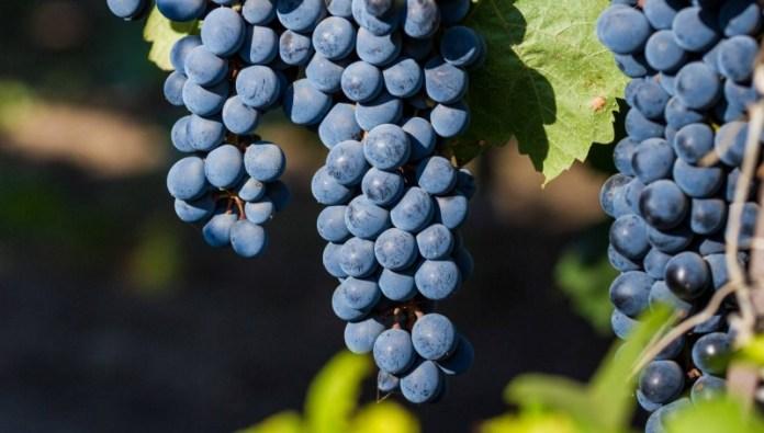 Виноград для лінивих: Гриф і Буффало