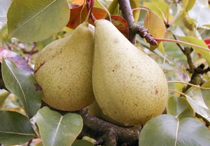 Коли і як саджати саджати грушу