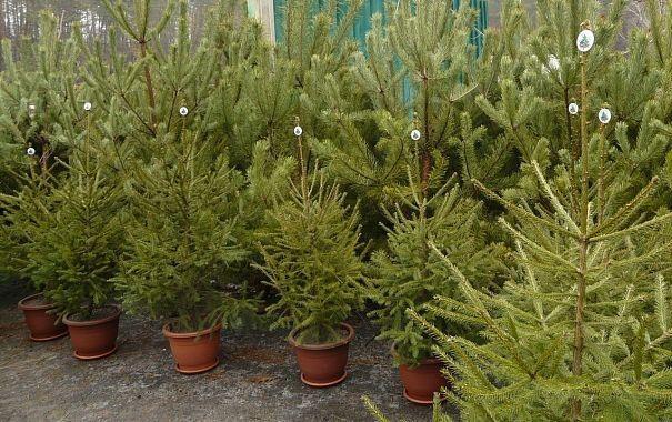 В Украине начинается реализация новогодних елок