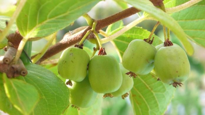 Почему не плодоносит актинидия?