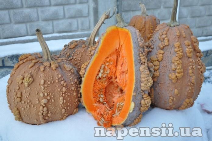 Овощевод из Днепропетровской области выращивает экзотические тыквы