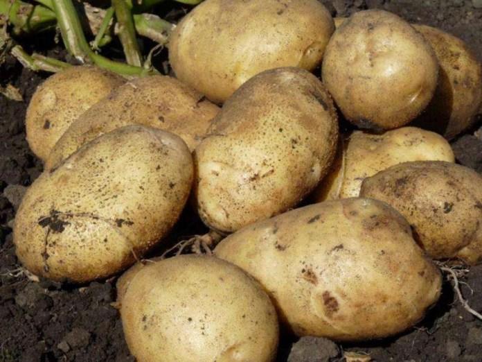 Ученые из Эквадора разработали сорт картофеля, который не поражается фитофторозом