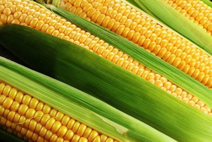 Важные подкормки кукурузы: чем и когда?