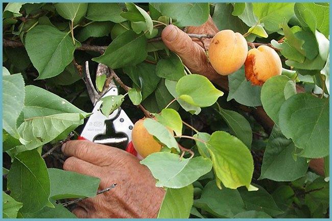 Летняя обрезка абрикоса