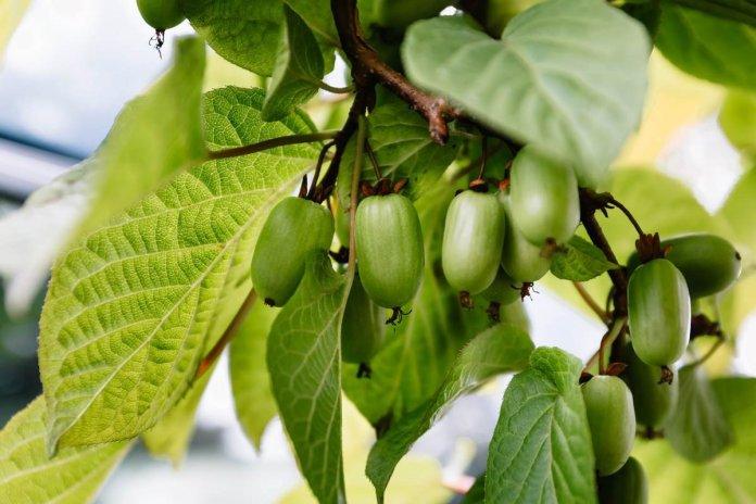 Садівник із Прикарпаття успішно вирощує актинідію
