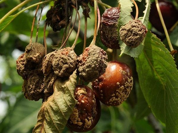Учимся распознавать болезни вишни