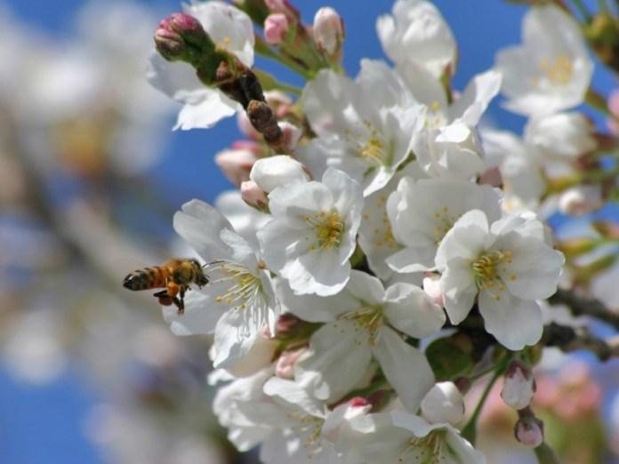 Действенный метод защиты плодовых деревьев от заморозков во время цветения