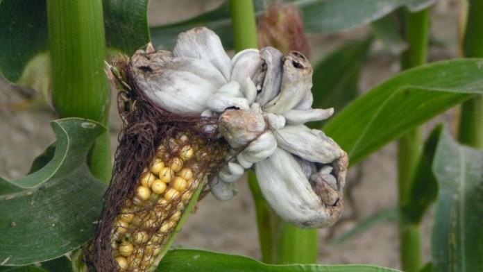 Специалисты рассказали об опасном заболевании кукурузы