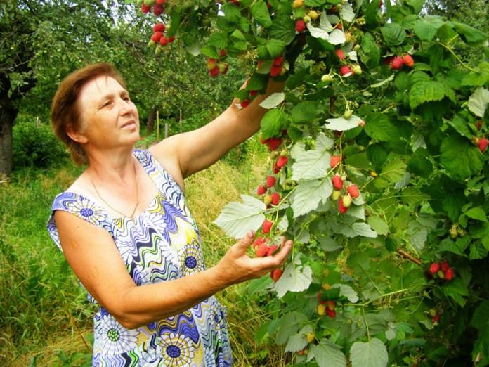 Чернігівські садівники поділилися секретами вирощування малини і смородини