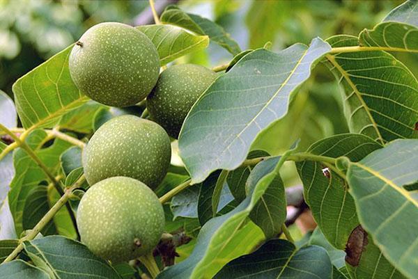 Полтавский садовод назвал благоприятное время для посадки ореха