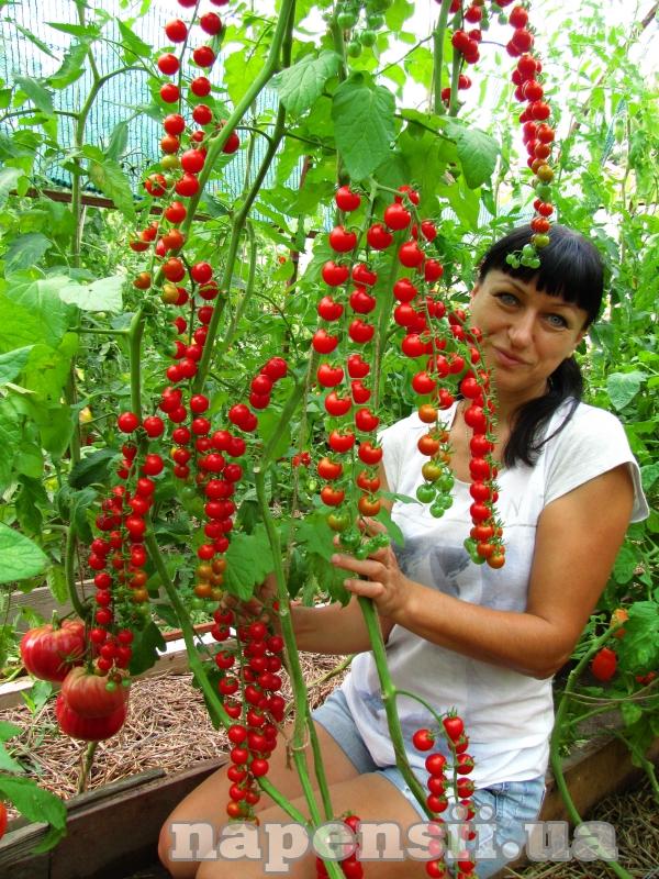 Овощевод из Одесской области коллекционирует редкие сорта томатов