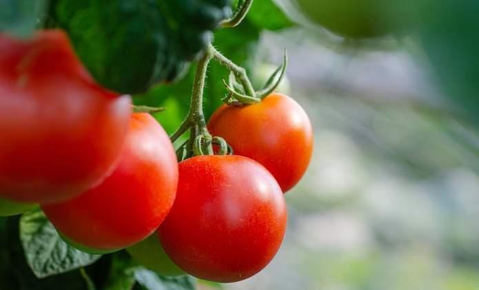 Як правильно дозарювати помідори?